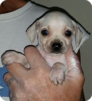 Chihuahua Mix Puppy for adoption in Chiefland, Florida - Blizzard