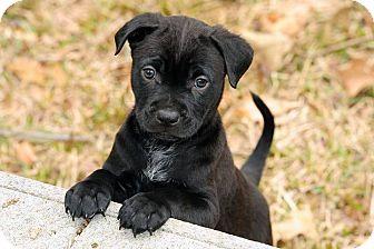 Labrador Retriever Mix Puppy for adoption in Austin, Texas - Ace
