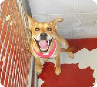 Australian Cattle Dog Mix Dog for adoption in Silver City, New Mexico - Macy