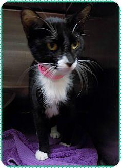 Domestic Shorthair Cat for adoption in Marietta, Georgia - STELLA BETTY - see video