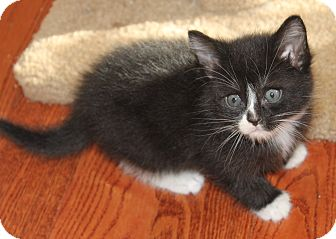 Domestic Shorthair Kitten for adoption in Saanichton, British Columbia - Jack Daniels