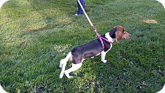 Treeing Walker Coonhound/Coonhound Mix Puppy for adoption in Salamanca, New York - Rosie