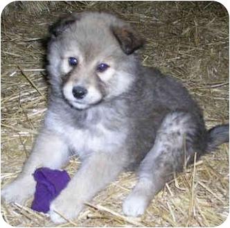 Alaskan Malamute/German Shepherd Dog Mix Puppy for adoption in Various Locations, Indiana - MARIO