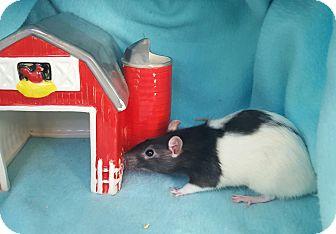 Rat for adoption in Dallas, Texas - Oreo & Butterscotch
