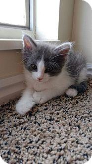 Domestic Mediumhair Kitten for adoption in Ogden, Utah - Cahoots