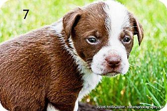 Terrier (Unknown Type, Medium) Mix Puppy for adoption in Cedar Rapids, Iowa - Puppy #7