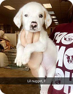 Labrador Retriever Mix Puppy for adoption in Chico, California - Lil Nugget