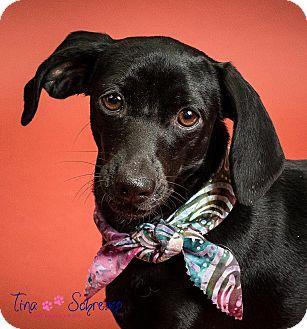 Dachshund/Terrier (Unknown Type, Small) Mix Dog for adoption in Big Canoe, Georgia - Tessa