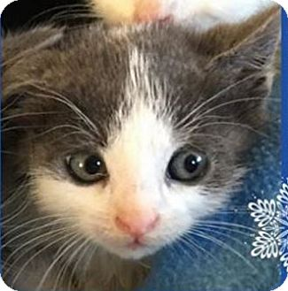 Domestic Shorthair Kitten for adoption in Wayne, New Jersey - Wynter