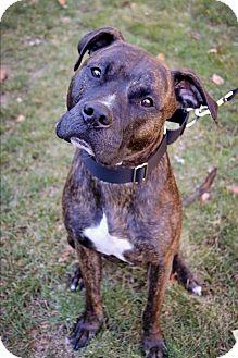 Pit Bull Terrier Mix Dog for adoption in Mansfield, Massachusetts - Austin