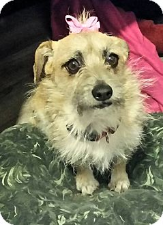 Border Terrier Dog for adoption in Victorville, California - Brandie-True sweetie