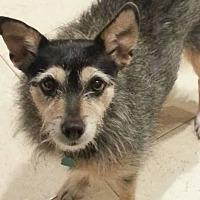 Jack Russell Terrier/Coonhound (Unknown Type) Mix Dog for adoption in Allen, Texas - Ella