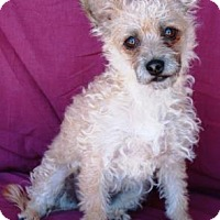 Terrier (Unknown Type, Medium)/Poodle (Miniature) Mix Dog for adoption in Gilbert, Arizona - Zinfandel