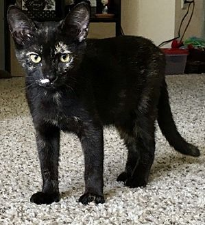 Domestic Shorthair Cat for adoption in oakland park, Florida - Adrianne