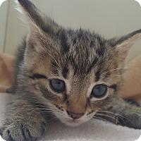 Adopt A Pet :: Syrah - Oakland, MI