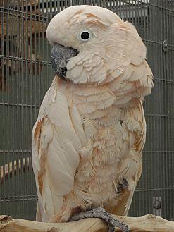 Cockatoo for adoption in Elizabeth, Colorado - Delilah 5455