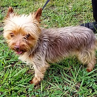 Adopt A Pet :: HoneyBunch- chocolate Yorkie - Gaffney, SC