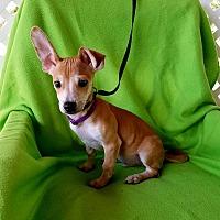 Adopt A Pet :: Azul - Jersey City, NJ