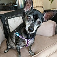 Chihuahua Dog for adoption in Vienna, Virginia - Delilah