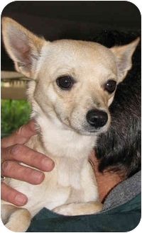 Chihuahua Dog for adoption in Poway, California - Chihuahuas