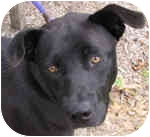 Labrador Retriever Mix Dog for adoption in Eatontown, New Jersey - No Toes
