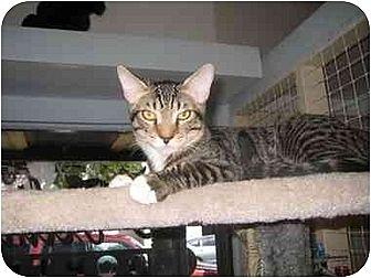 Domestic Shorthair Cat for adoption in Deerfield Beach, Florida - Oscar