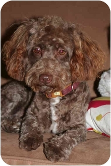 Poodle (Miniature) Dog for adoption in Nuevo, California - Charlie