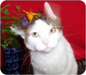 Turkish Van Cat for adoption in Taylor Mill, Kentucky - Marco-DECLAWED