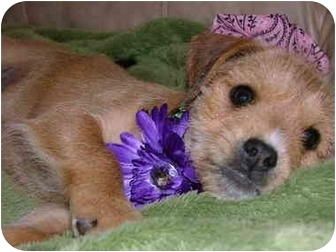 Boxer/Yorkie, Yorkshire Terrier Mix Puppy for adoption in Bedminster, New Jersey - Tia