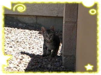 Domestic Shorthair Kitten for adoption in Pueblo West, Colorado - 4