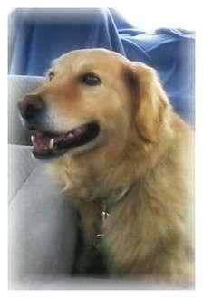 Golden Retriever Mix Dog for adoption in Portland, Maine - Tug