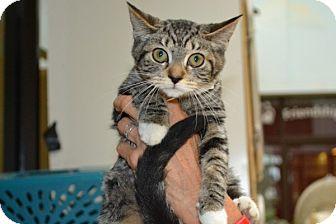 Domestic Shorthair Kitten for adoption in Elyria, Ohio - Winnie