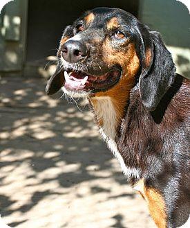 Bloodhound Mix Dog for adoption in Miami, Florida - Olivia