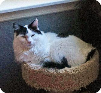 Domestic Mediumhair Cat for adoption in Steilacoom, Washington - Abigail & Jazz