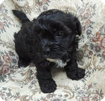 Shih Tzu/Yorkie, Yorkshire Terrier Mix Puppy for adoption in La Habra Heights, California - Toby