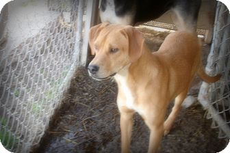 Boxer/Labrador Retriever Mix Dog for adoption in Arkadelphia, Arkansas - Perry