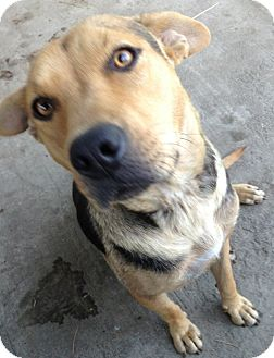 Shepherd (Unknown Type) Mix Dog for adoption in Poway, California - MOLLY