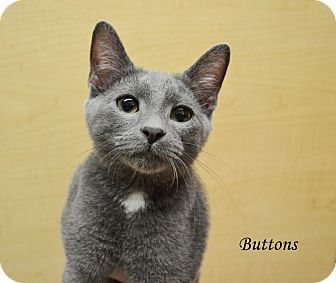 Domestic Shorthair Kitten for adoption in Arlington/Ft Worth, Texas - Button