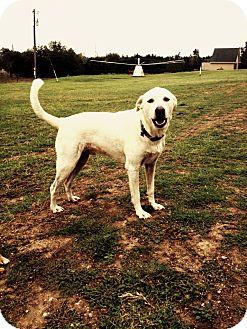 Akbash Mix Dog for adoption in Flower Mound, Texas - Jack