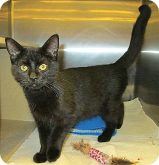 Domestic Shorthair Kitten for adoption in Pueblo West, Colorado - Peyter