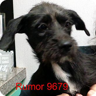 Schnauzer (Miniature) Mix Dog for adoption in Manassas, Virginia - Rumor
