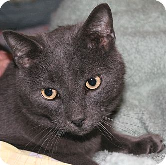 Russian Blue Cat for adoption in Foster, Rhode Island - Smog