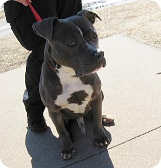 Pit Bull Terrier Mix Dog for adoption in Stillwater, Oklahoma - Blue