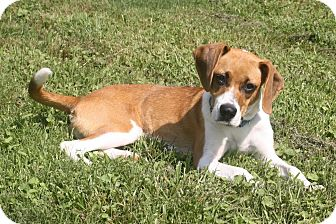 Beagle Mix Dog for adoption in Hagerstown, Maryland - Eleanore