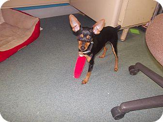 Miniature Pinscher Mix Puppy for adoption in McClure, Ohio - Tuff