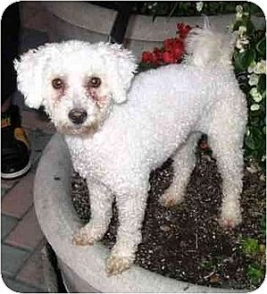 Poodle (Miniature)/Bichon Frise Mix Dog for adoption in Downey, California - Becca