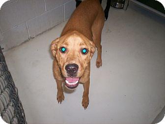 Boxer/Labrador Retriever Mix Dog for adoption in Newburgh, Indiana - Lukie Energetic, s