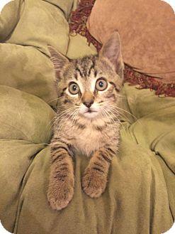 Domestic Shorthair Kitten for adoption in Gainesville, Florida - Churchill