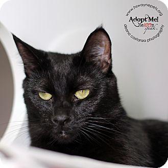Domestic Shorthair Cat for adoption in Lyons, New York - Samantha