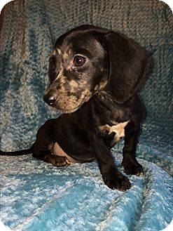 Dachshund/Border Collie Mix Puppy for adoption in Kittery, Maine - Dolly